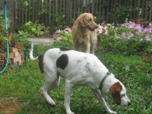 hound mix and golden retriever