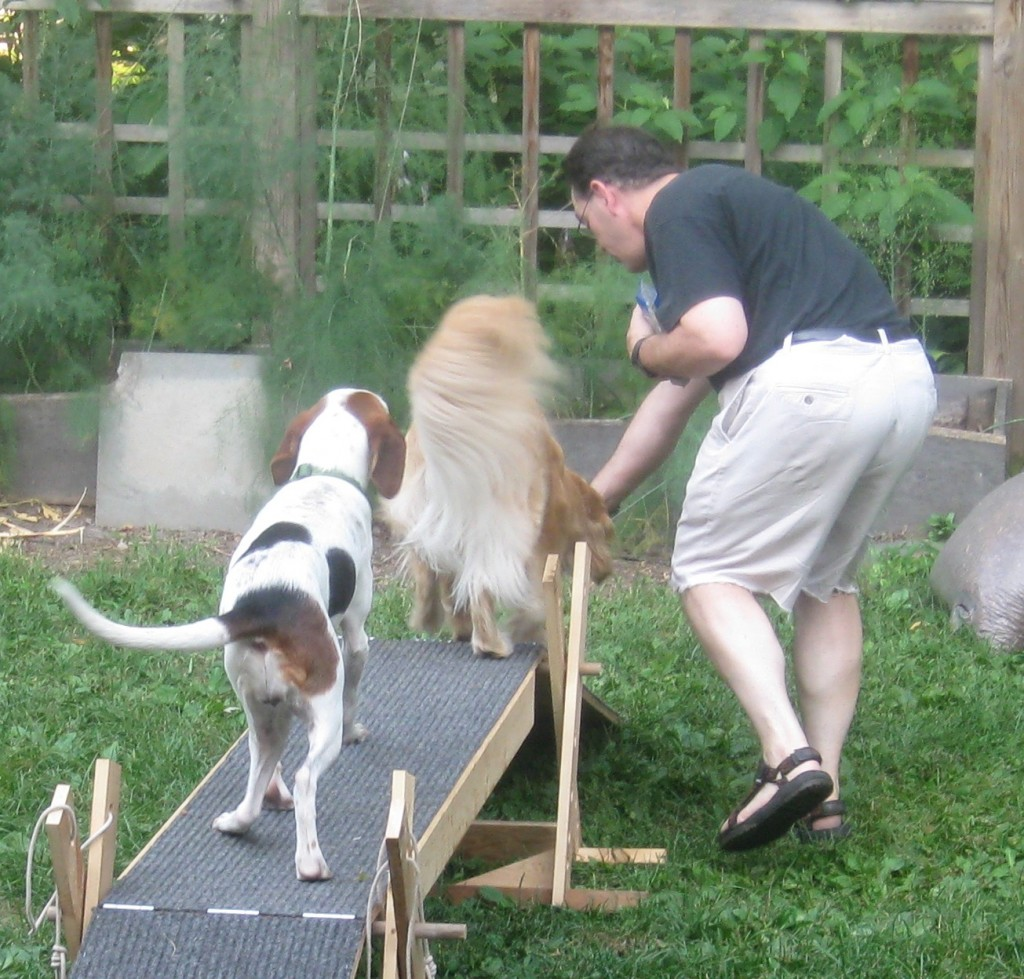 hound mix and Golden Retriever on agility equipment