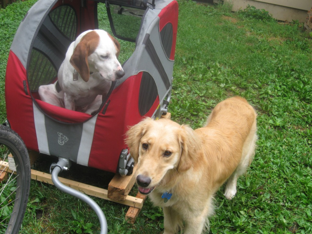 Hound Mix and Golden Retriever with Bicycle Cart