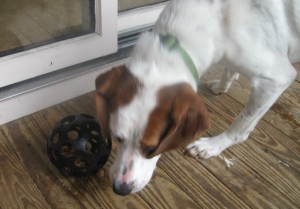 Hound Mix foster dog playing with a food toy