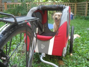 Golden Retriever and Doggy Ride Bicycle Cart