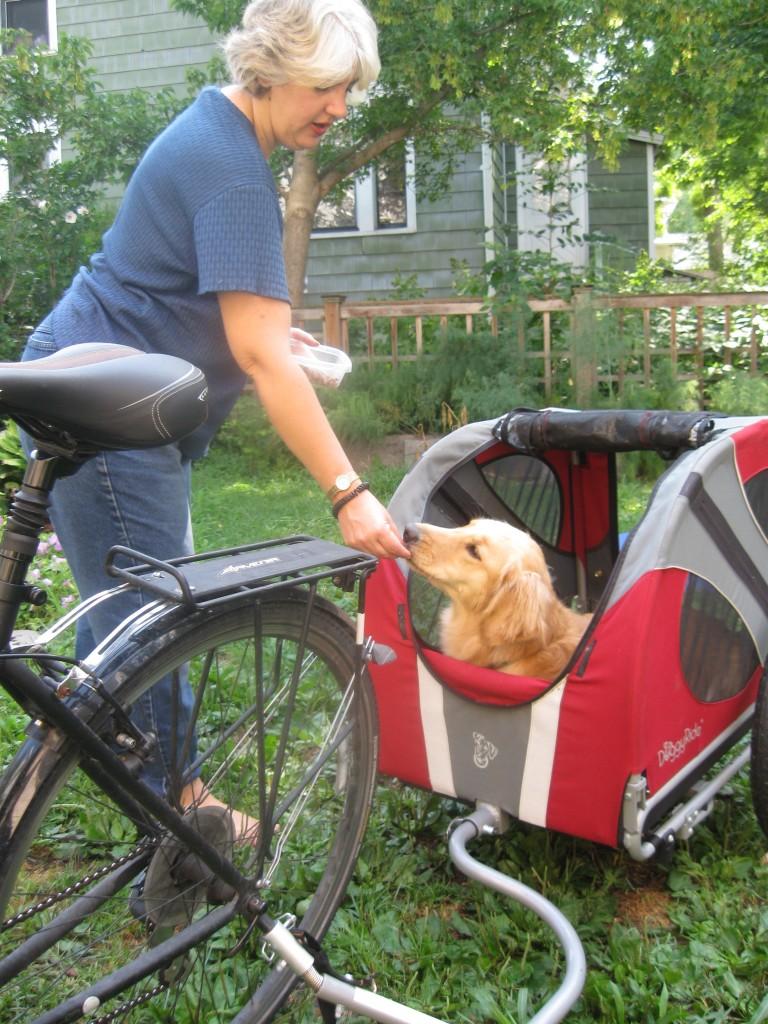 Honey the golden retriever gets a treat in the bike cart