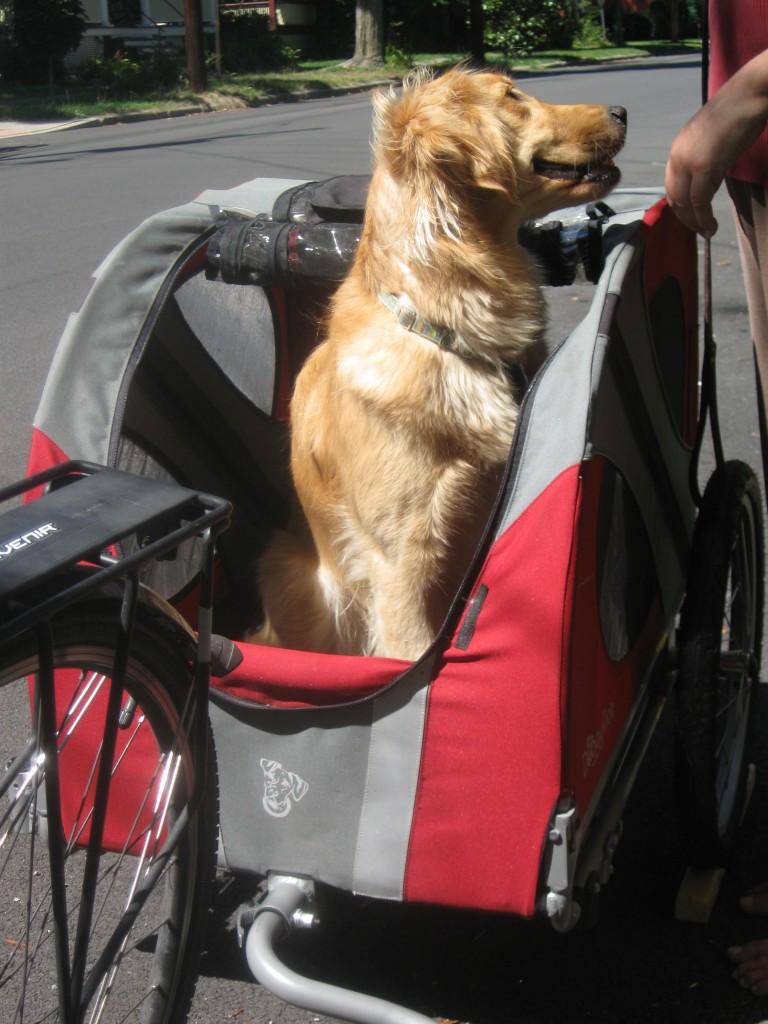 Golden Retriever in bike cart