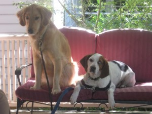 Golden Retriever and hound mix on the porch