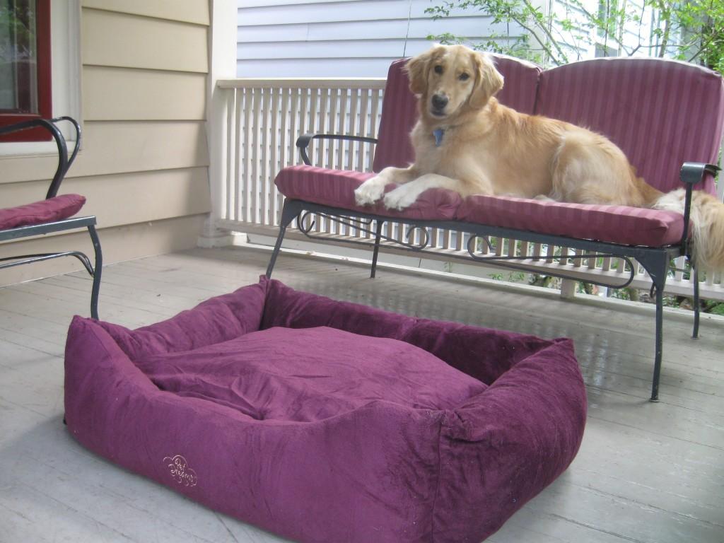 Golden Retriever on the porch