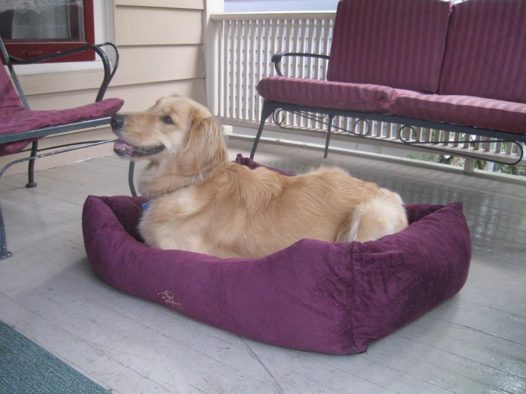 Golden Retriever in her new dog bed.