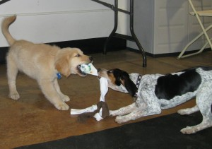 Golden Retriever puppy playing tug with a Hound Mix at the Tompkins County SPCA