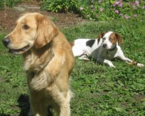 Golden Retriever and hound mix