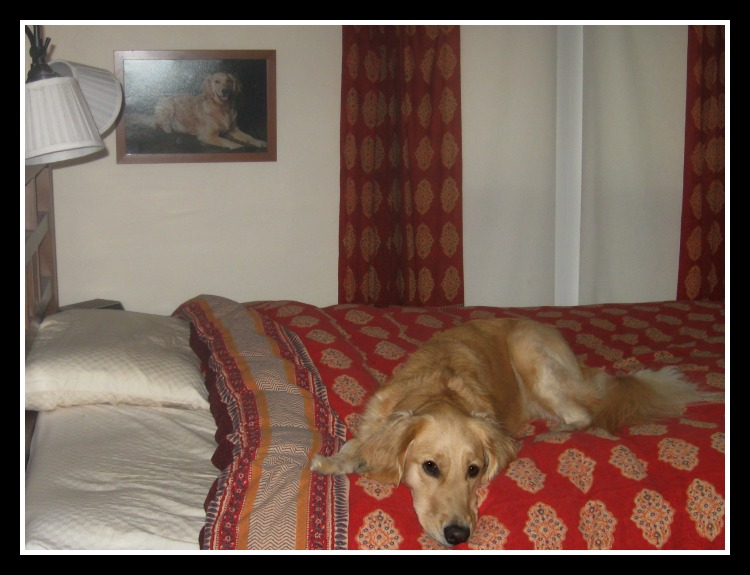 Honey the Golden Retriever on bed in front of portrait