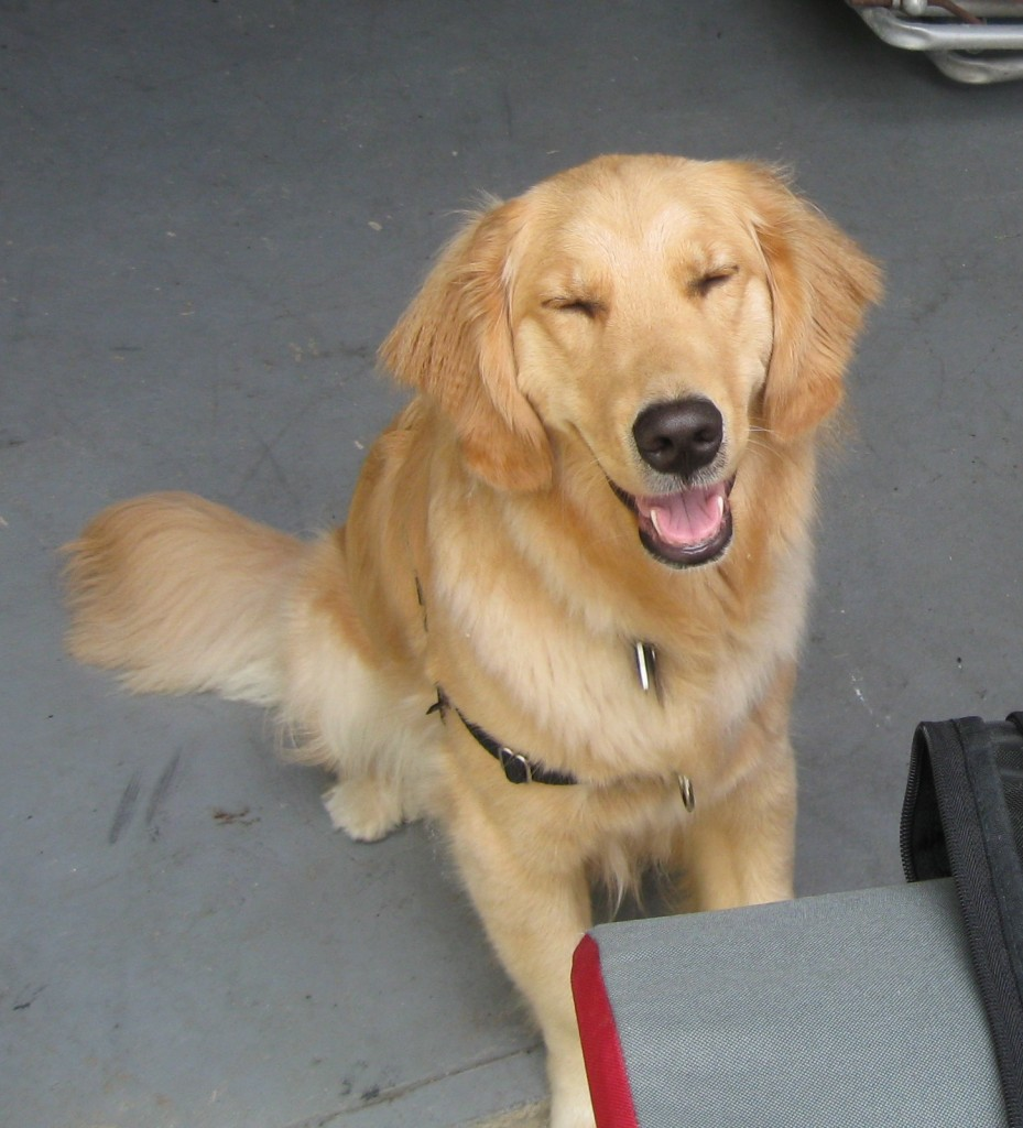 Golden Retriever grinning