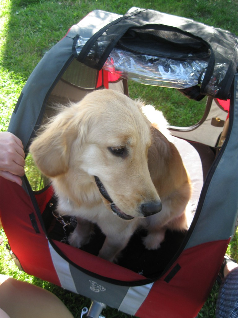 Golden Retriever in Bicycle cart