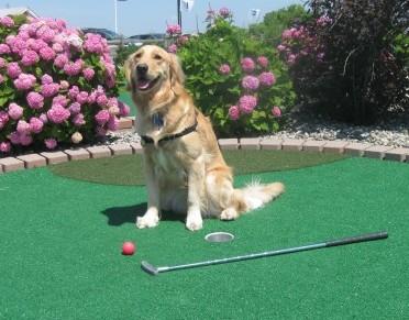 Golden Retriever playing mini golf