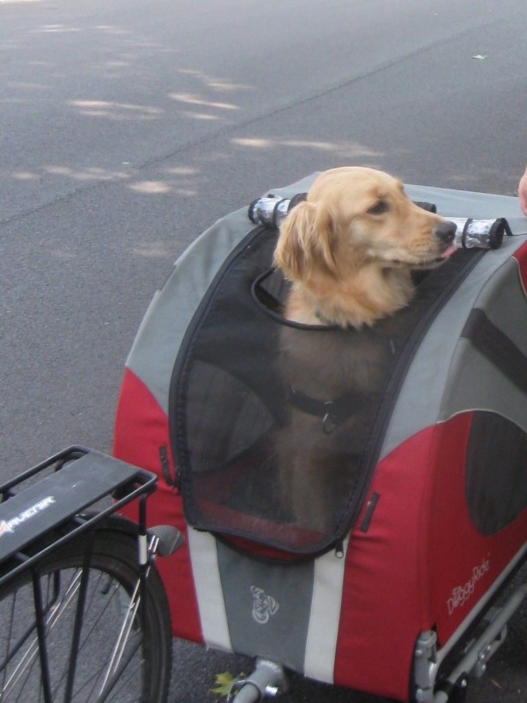 Golden Retriever in Doggy Ride Bike Cart