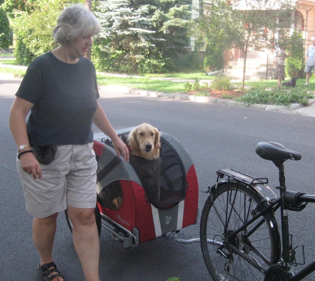 Golden Retriever in bicycle cart