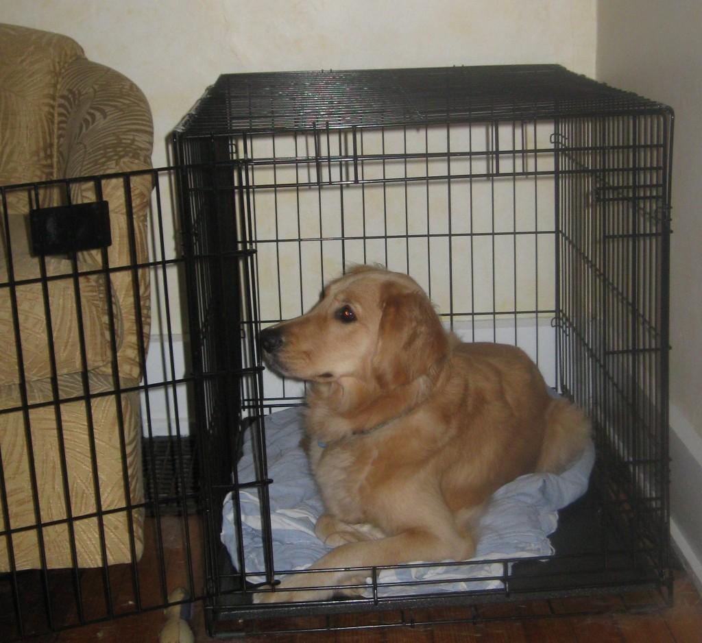 Golden Retriever in Crate