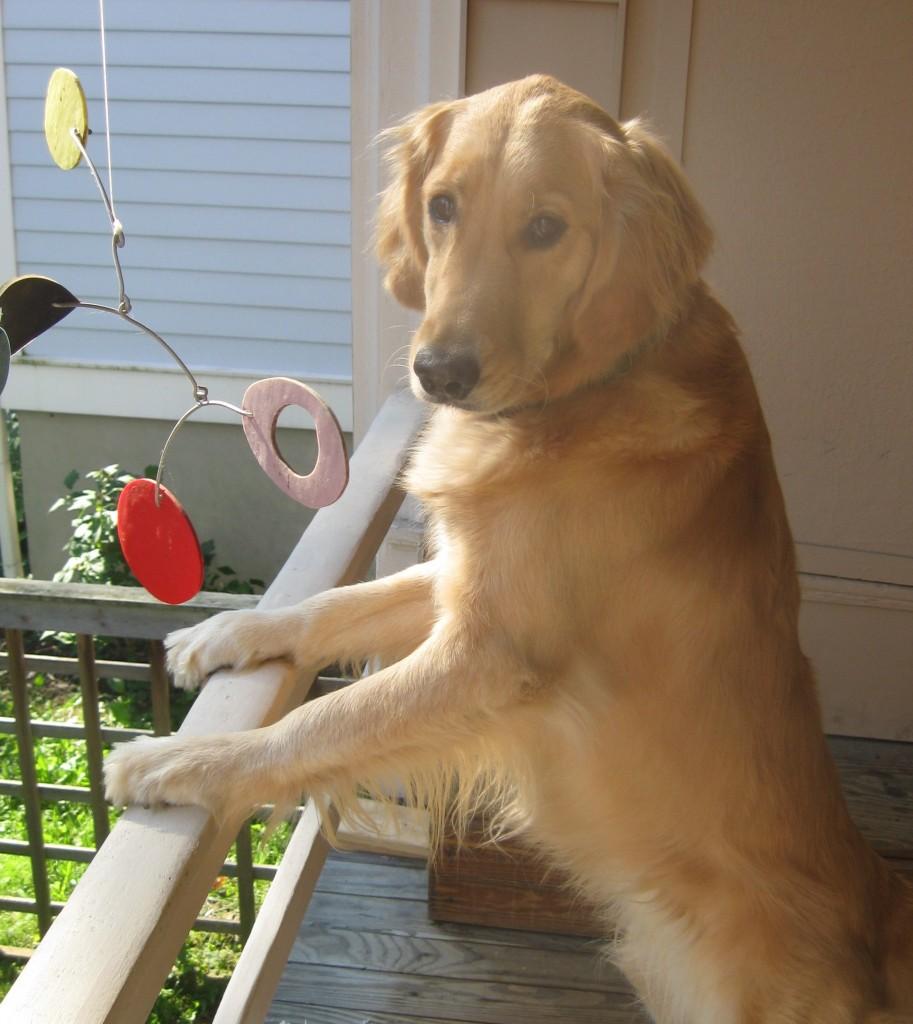 Golden Retriever standing on porch