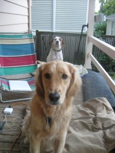 Golden Retriever and hound mix foster dog