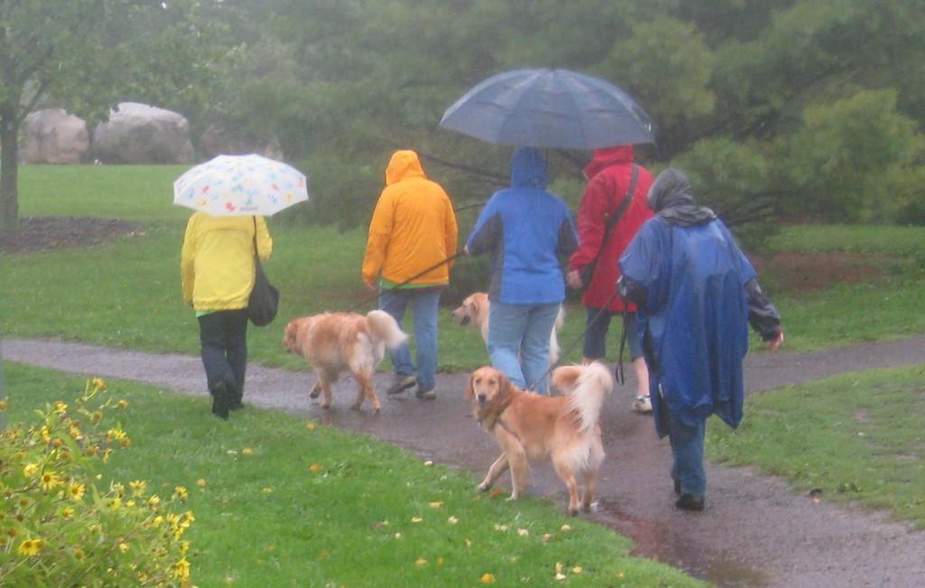Golden Retriever walking in the rain