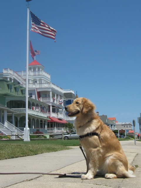 Golden Retriever admiring Cape May hotels