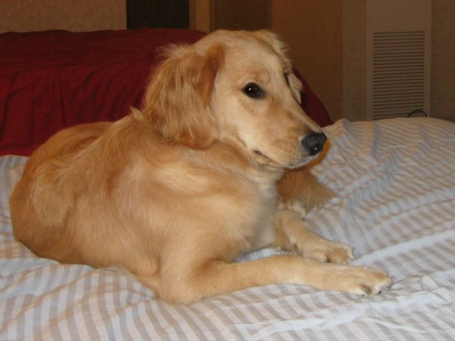 Honey the Golden Retriever waits on the bed.