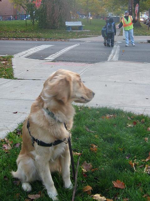 Golden Retriever looks at crossing guard
