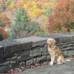 Golden Retriever with autumn leaves