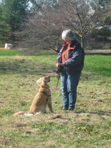 Golden Retriever gets the signal to stay
