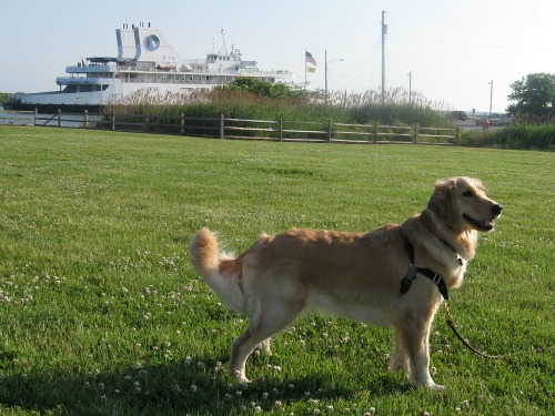 Golden Retriever with Cape May Ferry in the background