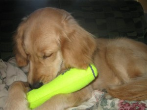 Honey with Kong Squeaker