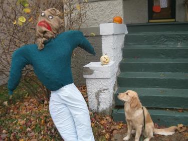 Golden Retriever looks at Scarecrow