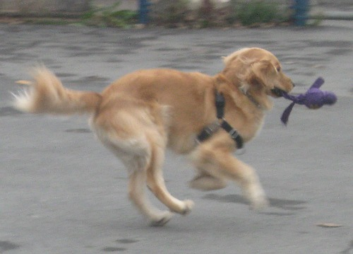 Honey the Golden Retriever with Kong Wubba