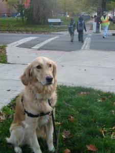 Golden Retriever sitting at crosswalk