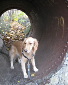 Honey the Golden Retriever is the Light at the End of the Tunnel