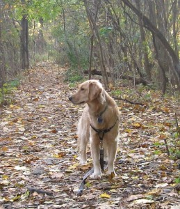 Honey the Golden Retriever Shows Her Introverted Side