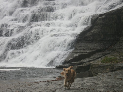 Honey the Golden Retriever at Ithaca Falls