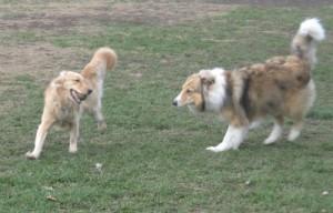 Honey the Golden Retriever with a Collie the Dog Park