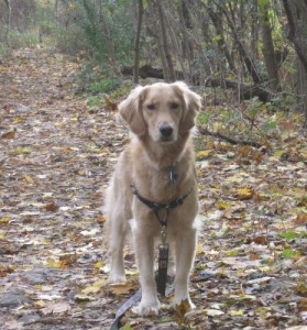 Honey the Golden Retriever - why does my dog do that