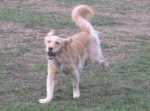 Honey the Golden Retriever has a ball at the dog park