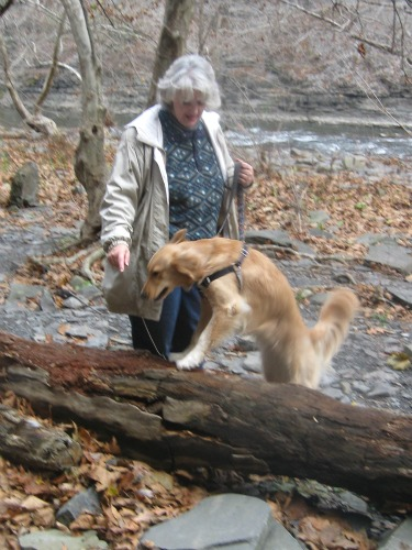 Honey the Golden Retriever hops on a log at Ithaca Falls