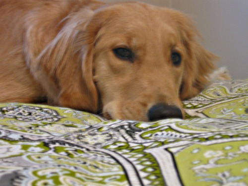 Honey the Golden Retriever in Bed