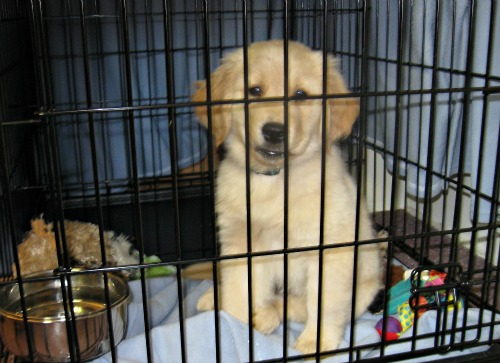 Honey the Golden Retriever as a puppy in her crate.