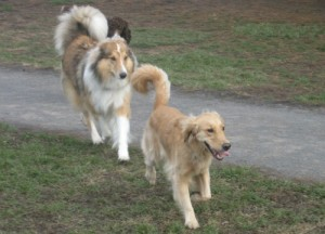 Honey the Golden Retriever takes the lead at the dog park.