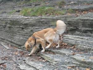Honey the Golden Retriever rock climbing at Ithaca Falls