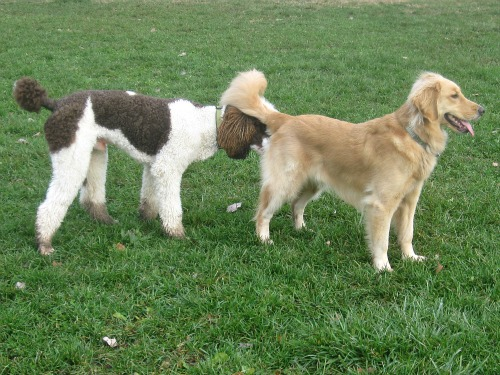 Honey the Golden Retriever with Poodle at the Dog Park