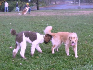 Honey the Golden Retriever with Poodle friend at the Ithaca Dog Park