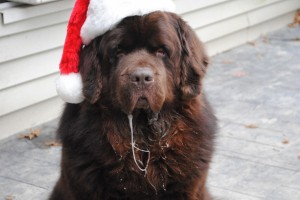 It's Sherman Claus from My Brown Newfies.
