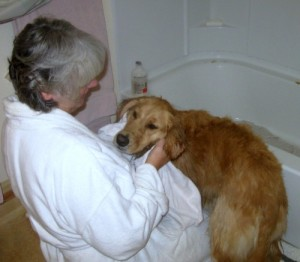 Honey the Golden Retriever gets toweled off after a bath.