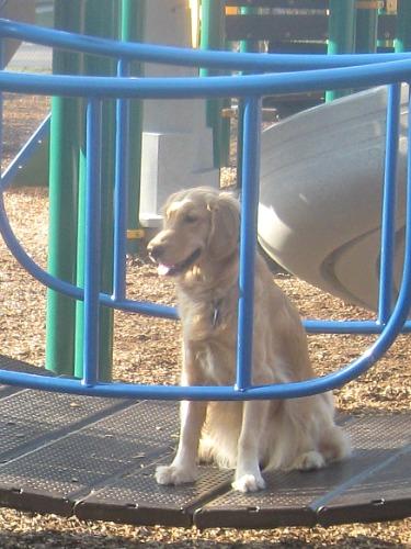 Honey the Golden Retriever at Fall Creek Playground.