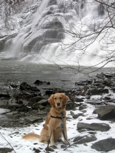 Honey the Golden Retriever poses at Ithaca Falls for Something Wagging This Way Comes.