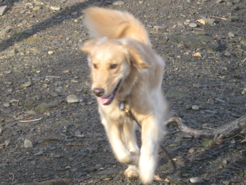 Honey, the Golden Retriever, comes running back on her walk.